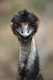 Diabelskie emu