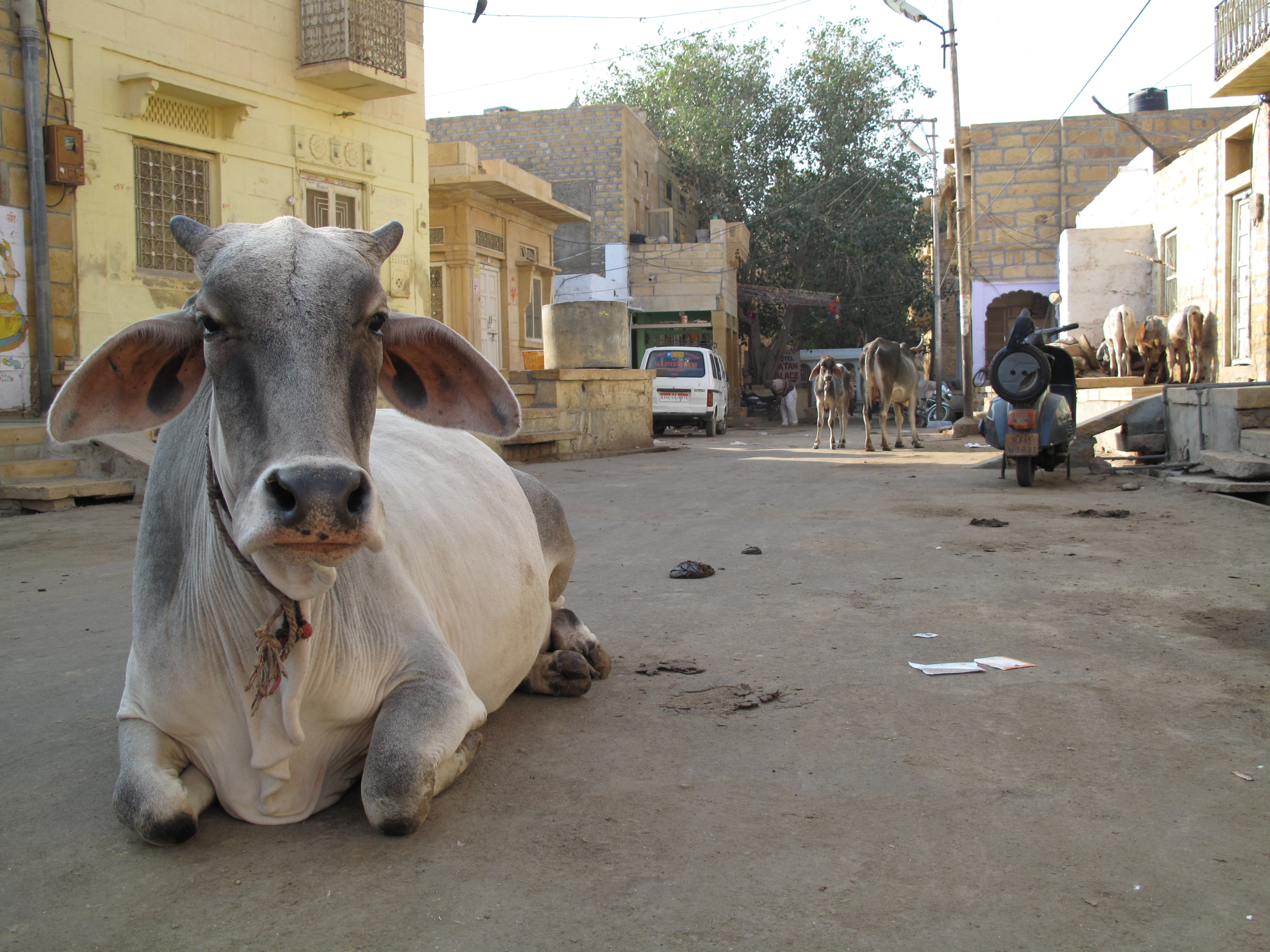 Swieta krowa